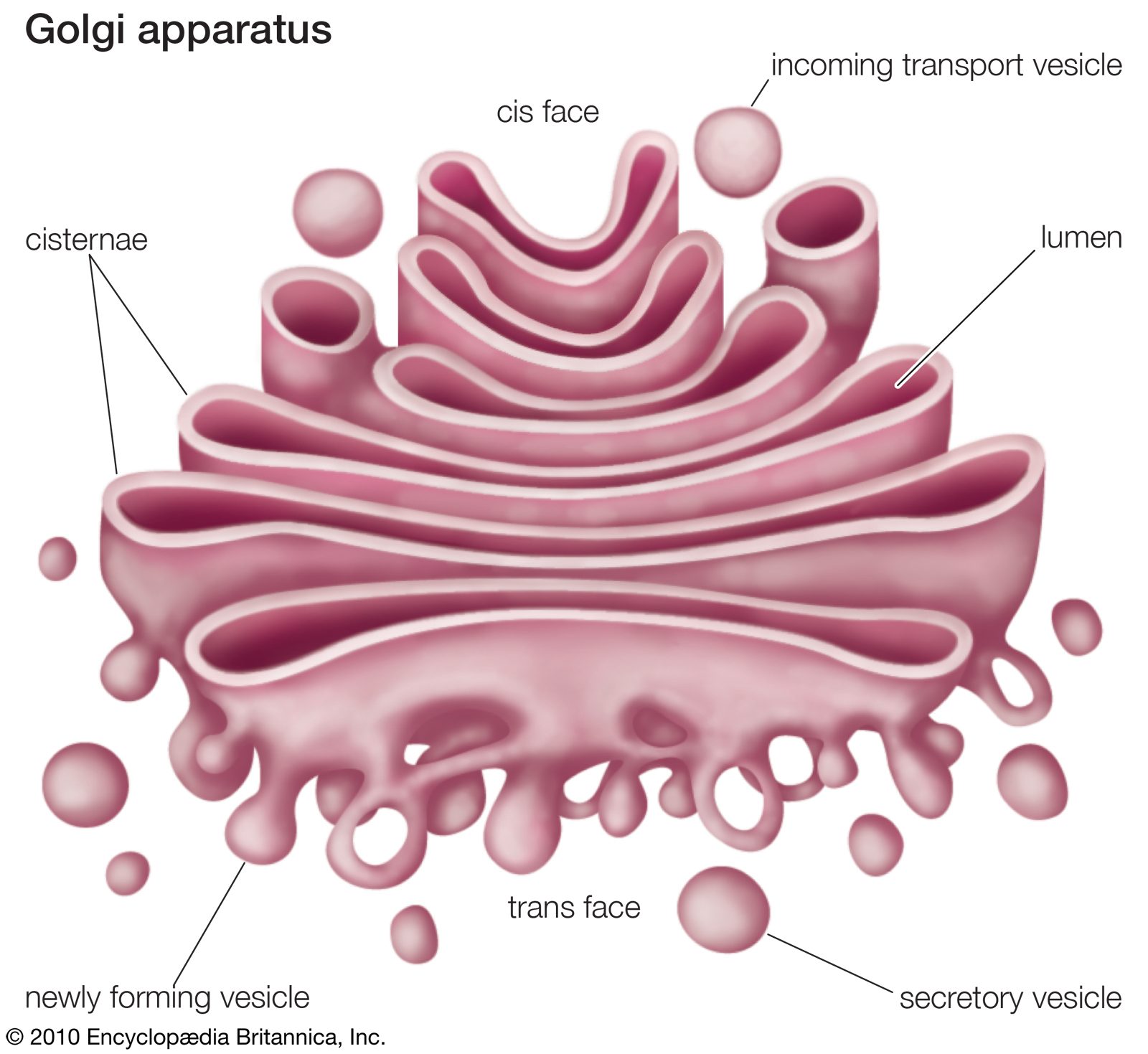 golgi body shape