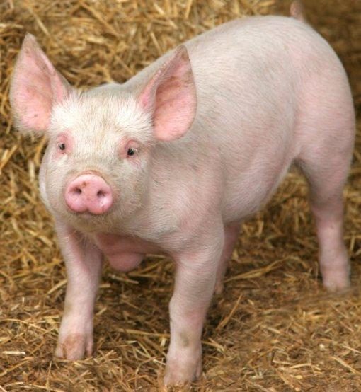 Cute piggy eating - photo#16