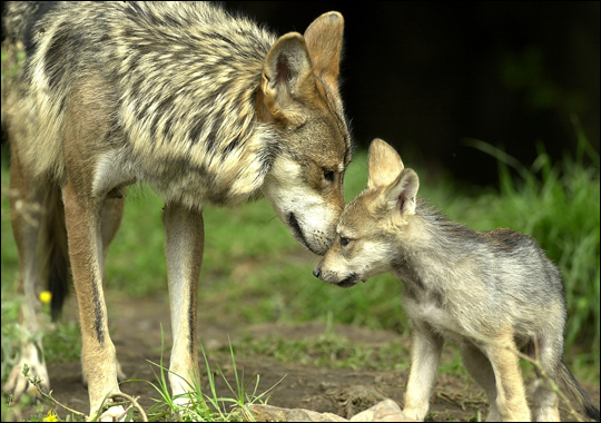 wolf larsons life with his mother Join the pack sign up to receive exclusive savings, vet tips, and more.